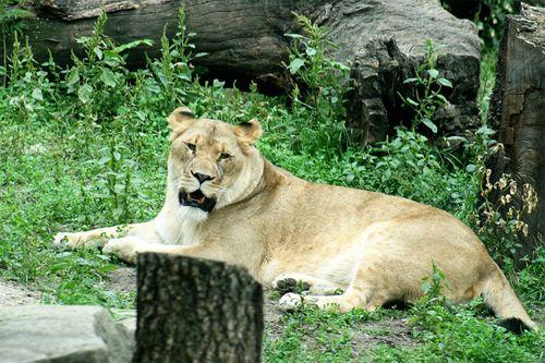 Zoo lion1