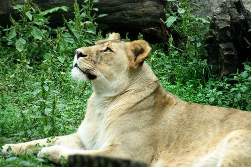 Zoo lion2