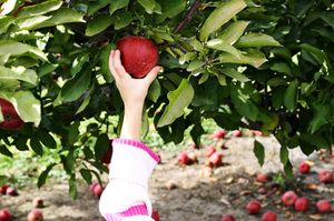 Apple_orchard_z